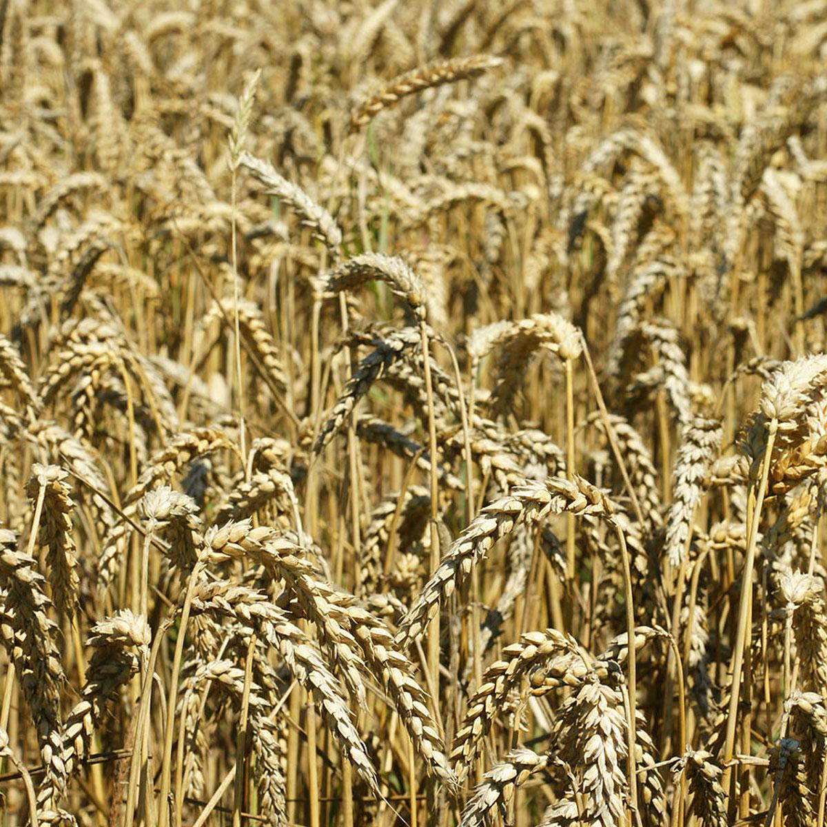 Diferencias entre la espelta y el trigo